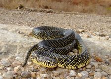 A large King Snake crossing a prairie road Royalty Free Stock Images