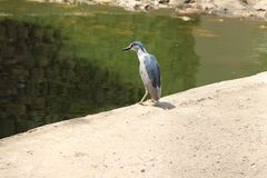 Large kingfisher at Karachi zoo. Large grey and white kingfisher at Karachi zoo, looking for fish near the water Royalty Free Stock Photography