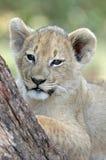 Large Kitten. Stock Images