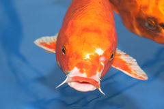 Large Koi Carp. Royalty Free Stock Image