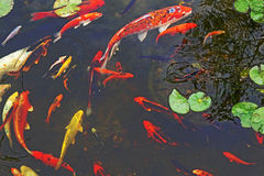 Large koi fish Stock Photography