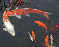 Large koi fish Stock Photos