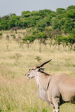 Large kudu on African plain Stock Photography