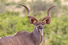 Large kudu bull Royalty Free Stock Photo