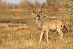 Large kudu bull with beautiful horns eating leaves from a thorn Stock Photos