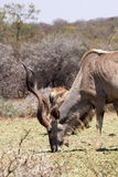 Large Kudu Bull Eating Stock Photos