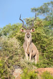 Large kudu bull standing on a hill with trees looking out for da Royalty Free Stock Image