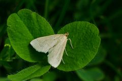 Large Lace-border Moth. Perched on a leaf. Rouge National Urban Park, Toronto, Ontario, Canada Stock Images