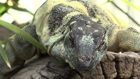 Lace monitor during the day. Large lace monitor out in nature during the day stock footage