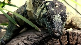 Lace monitor during the day. Large lace monitor out in nature during the day stock video footage