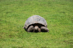 Large land turtle. In a meadow Stock Image