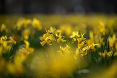 Large lawn full of daffodil flowers royalty free stock photography