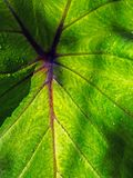 A large leaf close up royalty free stock image