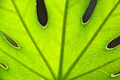 LARGE LEAF. SUN SHINING THROUGH THE VEINS OF A LEAF Stock Photography
