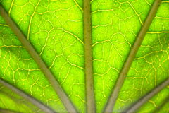 LARGE LEAF. SUN SHINING THROUGH THE VEINS OF A LEAF Stock Images