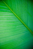 Large Leaf Texture Royalty Free Stock Images