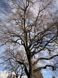 Large leaf less tree in Sonoma. With dramatic sky stock image