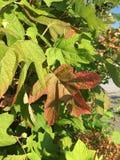 Large leaf Stock Image
