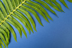 Large leaf of a wild fern close-up on a dark blue background. Stock Image
