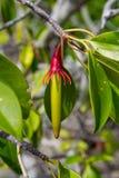 Large-Leafed Orange Mangrove Bruguiera gymnorhiza. On Curieuse, Seychelles stock images