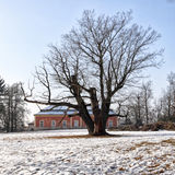 Large leafless tree in the middle of lawn Royalty Free Stock Photos