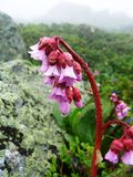 Large-leaved flower Bergenia. Bergenia large-leaved flower on top of a mountain Royalty Free Stock Photography