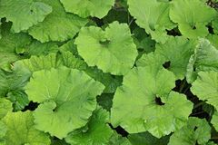 Plants ofpestilence wort, butterbur leaves Stock Image