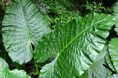 Large leaves with clear lines. royalty free stock images