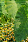 Large leaves of Elephant plant and yellow flowers Royalty Free Stock Photos