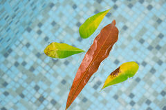 Large leaves floating buoyant in the swimming pool with crystal aqua water. Royalty Free Stock Photography