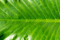 Large leaves in garden, Thailand Royalty Free Stock Image