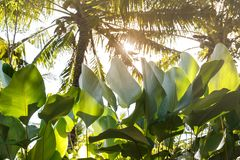 Large leaves of plants under coconut palms royalty free stock photography