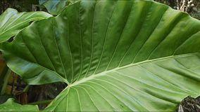 Large leaves. Slider shot of large rainforest leaves stock video