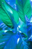 Large leaves of Spathiphyllum or Peace lily Royalty Free Stock Photos