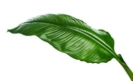 Large leaves of Spathiphyllum or Peace lily, Tropical foliage isolated on white background, with clipping path. Large leaves of Spathiphyllum or Peace lily Stock Photo