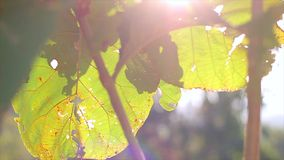Large leaves in the sunlight. Tropical vegetation. Leaves in the mountains stock footage