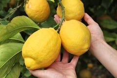 Large lemons Royalty Free Stock Photo