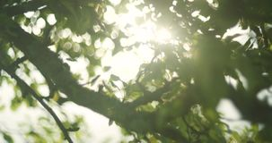 Large lens flare shinning through bright green leaves during the spring time. 4K close up.