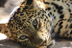 Large Leopard Jaguar Stock Photos