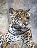Large Leopard Jaguar Royalty Free Stock Photo