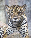 Large Leopard Jaguar Royalty Free Stock Image