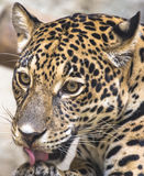 Large Leopard Jaguar Royalty Free Stock Photography