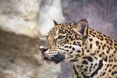 Large Leopard Jaguar Royalty Free Stock Images