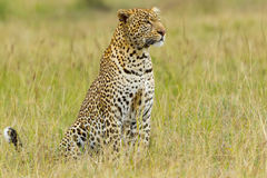 Large Leopard Portrait Royalty Free Stock Photos