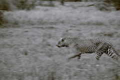 Large Leopard. A stunning male leopard in motion Stock Photography