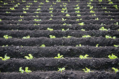Large lettuce plantation Royalty Free Stock Photos