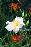 Hemerocallis. Stock Photos