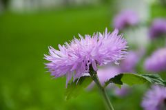 Large light lilac flowers. Growing in a meadow royalty free stock photo