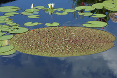 Large Lily Pad. Very large lily pad floating on water Stock Images