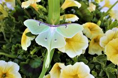 Actias luna, the Luna Moth. Large lime-green Atias Luna, the Luna Moth, Nearctic Saturniid moth on green vegetation royalty free stock photo